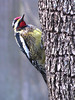 12 12 25 Birds Backyard woodpecker 01