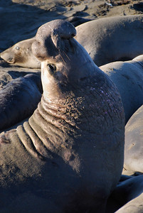 Elephant Seal Near Big Sur, California.