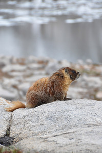 Marmot in the Nine Lake Basin.  Sierra Nevada Range, California.