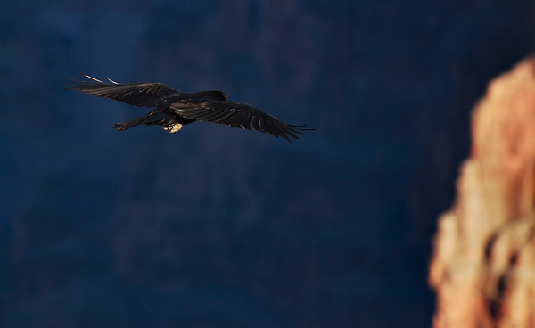 Blackbird.  Toroweap Point.  Grand Canyon National Park, Arizona.