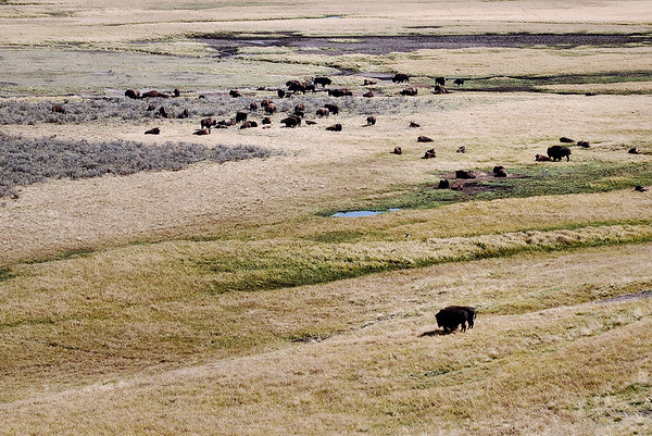 Buffalo herd, Yellowstone national Park.