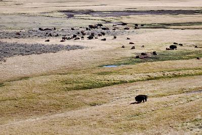 Buffalo herd, Yellowstone national Park.