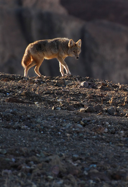 Watchful Coyote.  Death Valley National Park, California.