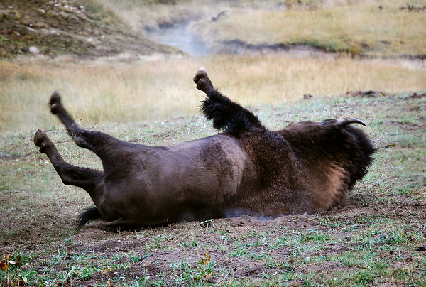 Buffalo itching his back, Yellowstone National Park.