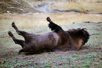 Buffalo itching his back, Yellowstone National Park.