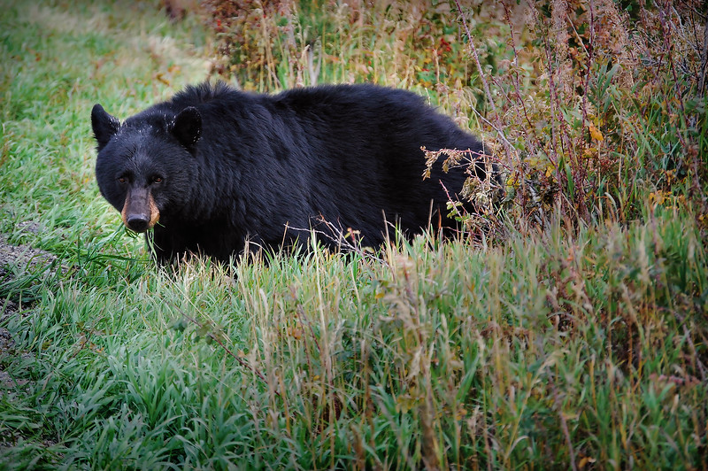 Black Bear Surprise