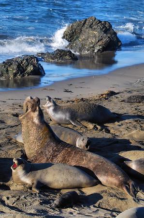 Elephant Seal Near Big Sur, California.
