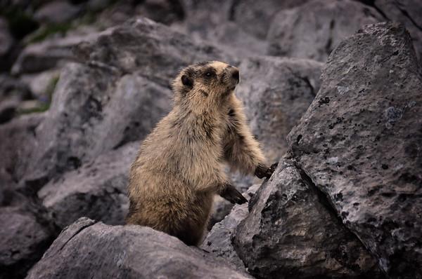 Marmot.  Banff National Park, Canada.