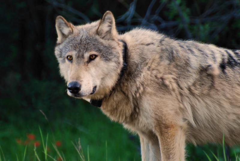 Wolf.  Jasper National Park, Alberta Canada.