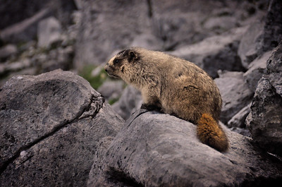 Marmot.  Banff National Park, Canada.