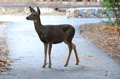 Mule Deer.  Yosemite National Park, California.