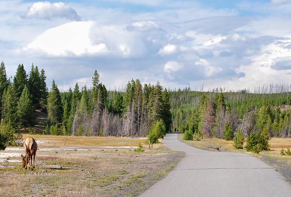 Elk. Yellowstone National Park, Wyoming.