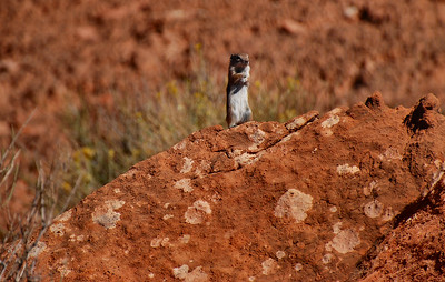 Chipmunk. Toroweap Point, Grand Canyon National Park, Arizona.