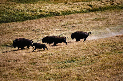 Running Buffalo, Yellowstone National Park.