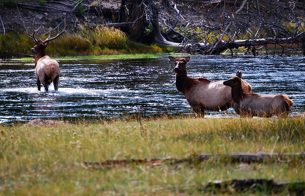 Elk crossing stream, Yellowstone National Park.