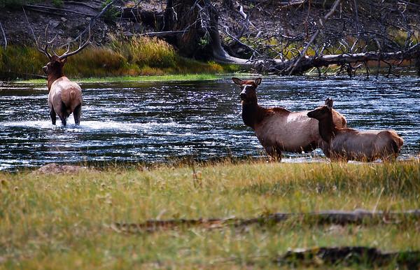 Elk crossing stream, Yellowstone National Park.