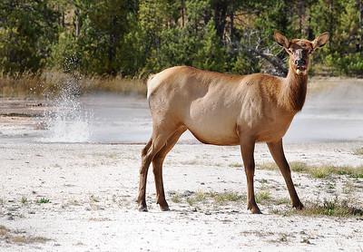 Elk.  Yellowstone National Park, Montana.