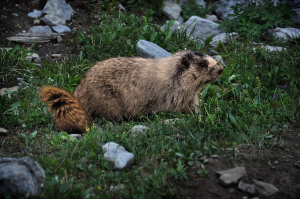 Marmot in Grass.  Banff National Park, Canada.