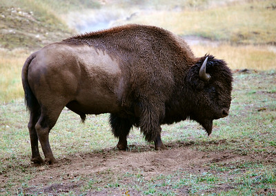 Buffalo, Yellowstone National Park.