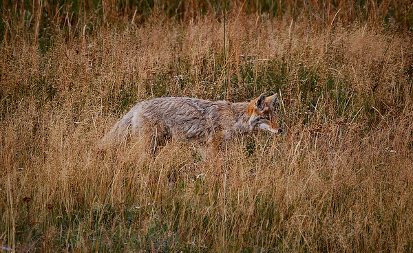 Coyote in the brush, Yellowstone National Park.
