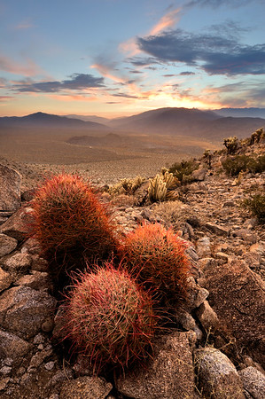 Sunset over Barrel Cactus Anza-Borrego State Park, California.  Copyright © 2011 All rights reserved.