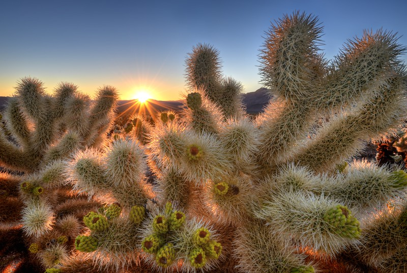 Chollas Garden Sunrise<br /> Joshua Tree National Park, California.<br /> <br /> Copyright © 2012<br /> All rights reserved