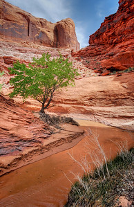 Lone Tree in Coyote Gulch Glen Canyon National Recreation Area, Utah. Copyright © 2008 All rights reserved.