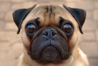 Barney the Worried Pug
