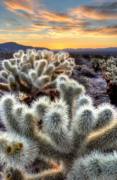 -PHOTOGRAPH OF THE DAY (July 27, 2012)<br /> MyParkPhotos.com<br /> <br /> Chollas Cactus Sunrise<br /> Joshua Tree National Park, California.<br /> Copyright © 2012<br /> All rights reserved.