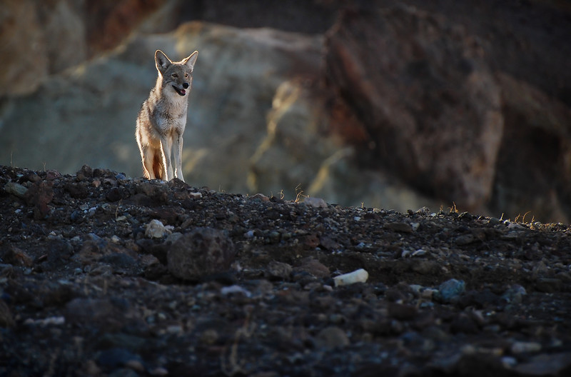 "-PHOTOGRAPH OF THE MONTH (September 2011)<br /> Category ""Wildlife"" @ MyParkPhotos.com<br /> <br /> Watchful Coyote<br /> Death Valley National Park, California.<br /> Copyright © 2008<br /> All rights reserved."