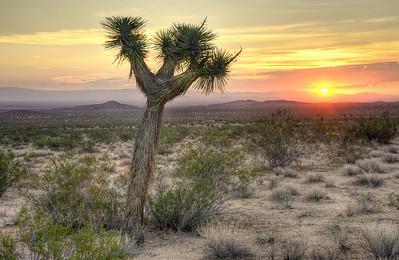 Joshua Tree Sunrise Mojave, California.  Copyright © 2012 All rights reserved.