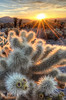 Chollas Cactus Sunrise<br /> Joshua Tree National Park, California.<br /> <br /> Copyright © 2012<br /> All rights reserved.