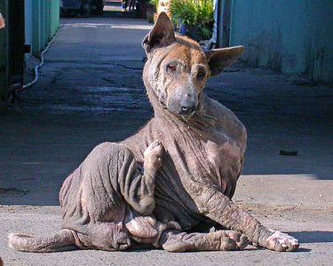 """Photo Friday""... A very strange hairless dog in the middle of the street ... Sattahip Thailand"