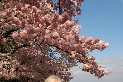 Cherry blossoms in full bloom around our Nation's Capital, Washington DC.