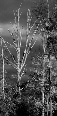 Death of a different Tree (black & White)