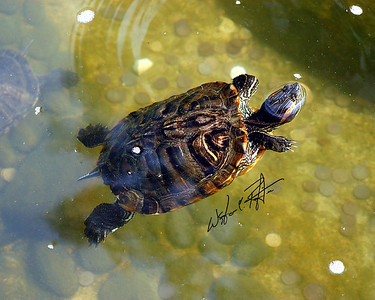 Turtle swimming in a park pond, Hong Kong, China.