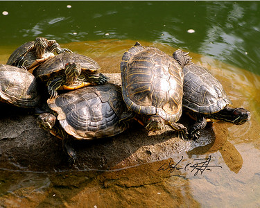 Turtles sunning themselves on a rock in a park pond, Hong Kong, China.