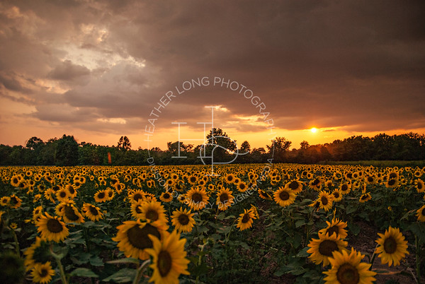 Sunflower Field - Sunset