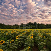 Sunflower Field - Sunrise
