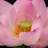 Kenilworth Gardens - Lotus Bloom 02
