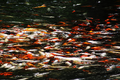 For those of you not in Omaha, this is the koi pond in the bird aviary. Each of these koi is between 2-3 feet long.
