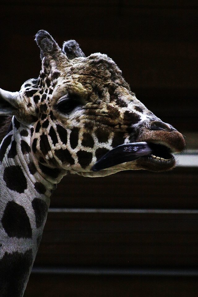 Wow! This giraffe has a huge tongue!