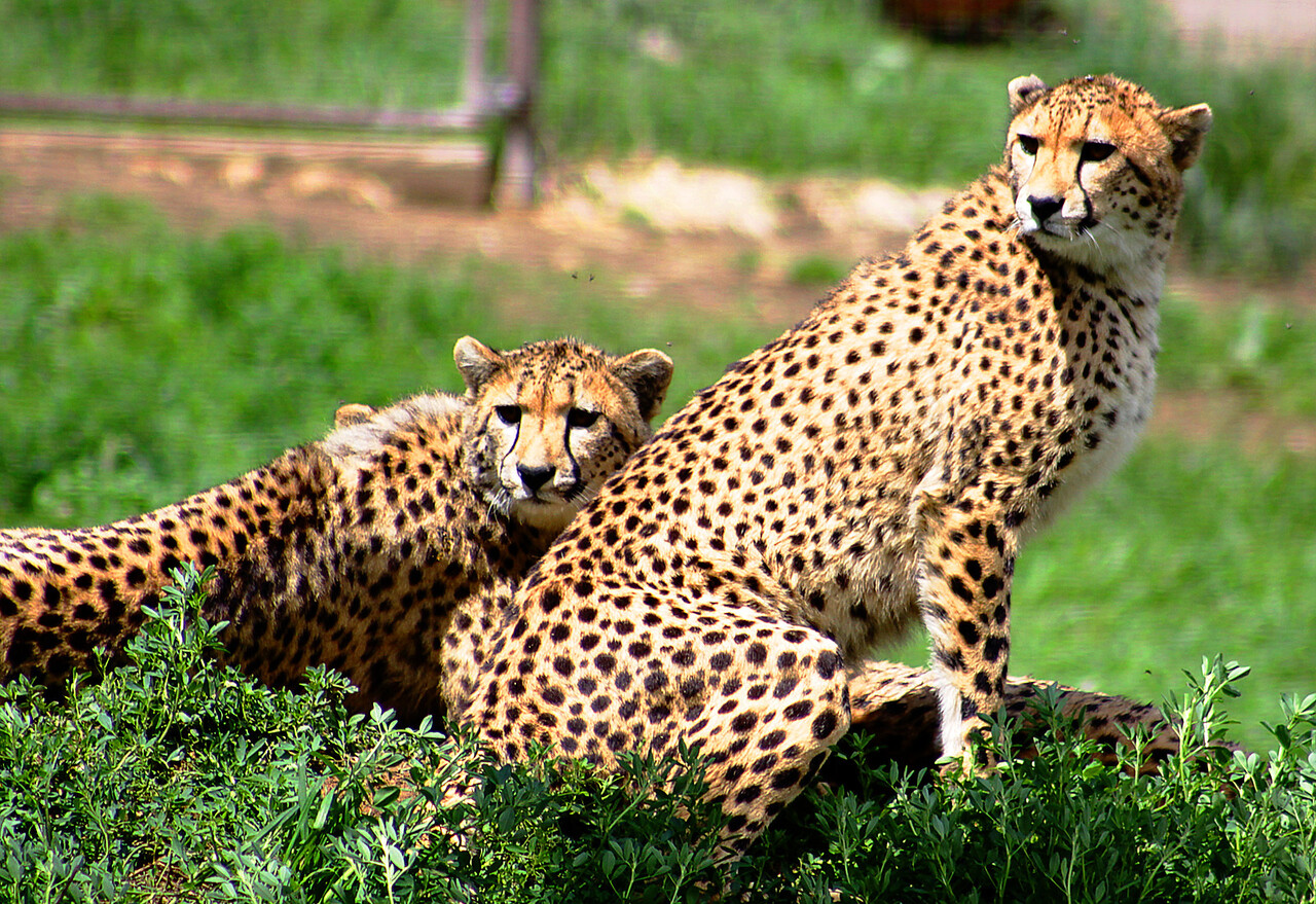 "Several cheetah ""cubs"". That's how they're listed, anyway."
