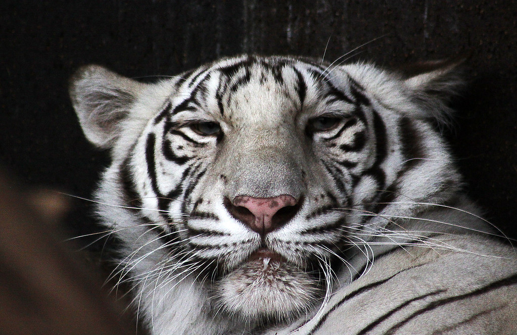 I woke up this beautiful white tiger. Whoops.
