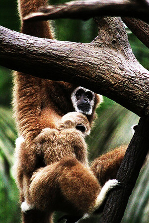 A gibbon and her baby in the Lied Jungle