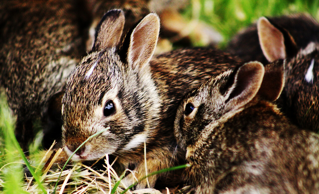 Seven baby bunnies reside in a hole in my front yard in Omaha, Nebraska.