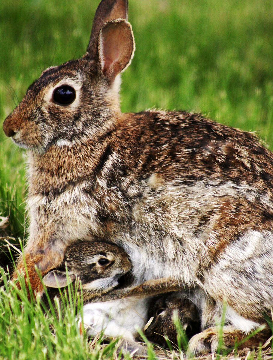 Here's a momma rabbit feeding her bunnies in our front yard.