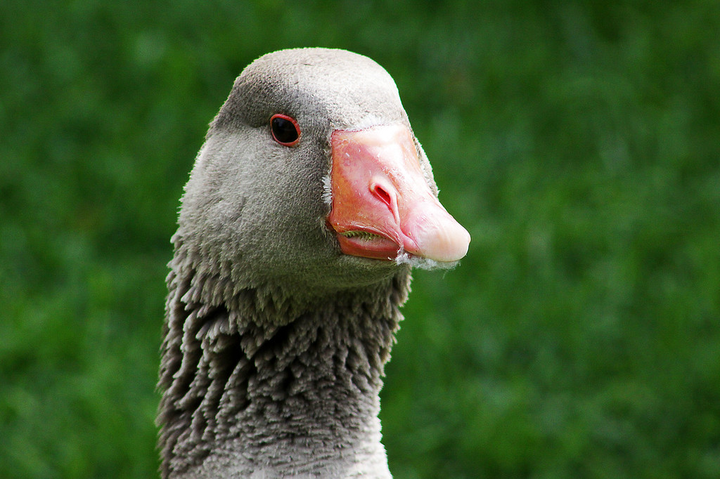 Although this goose looks like it wants to beat the crap out of me with fuzz in its mouth, it actually just god done preening itself.