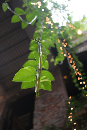 A vine hanging from the ceiling of the Old Market passageway in downtown Omaha.