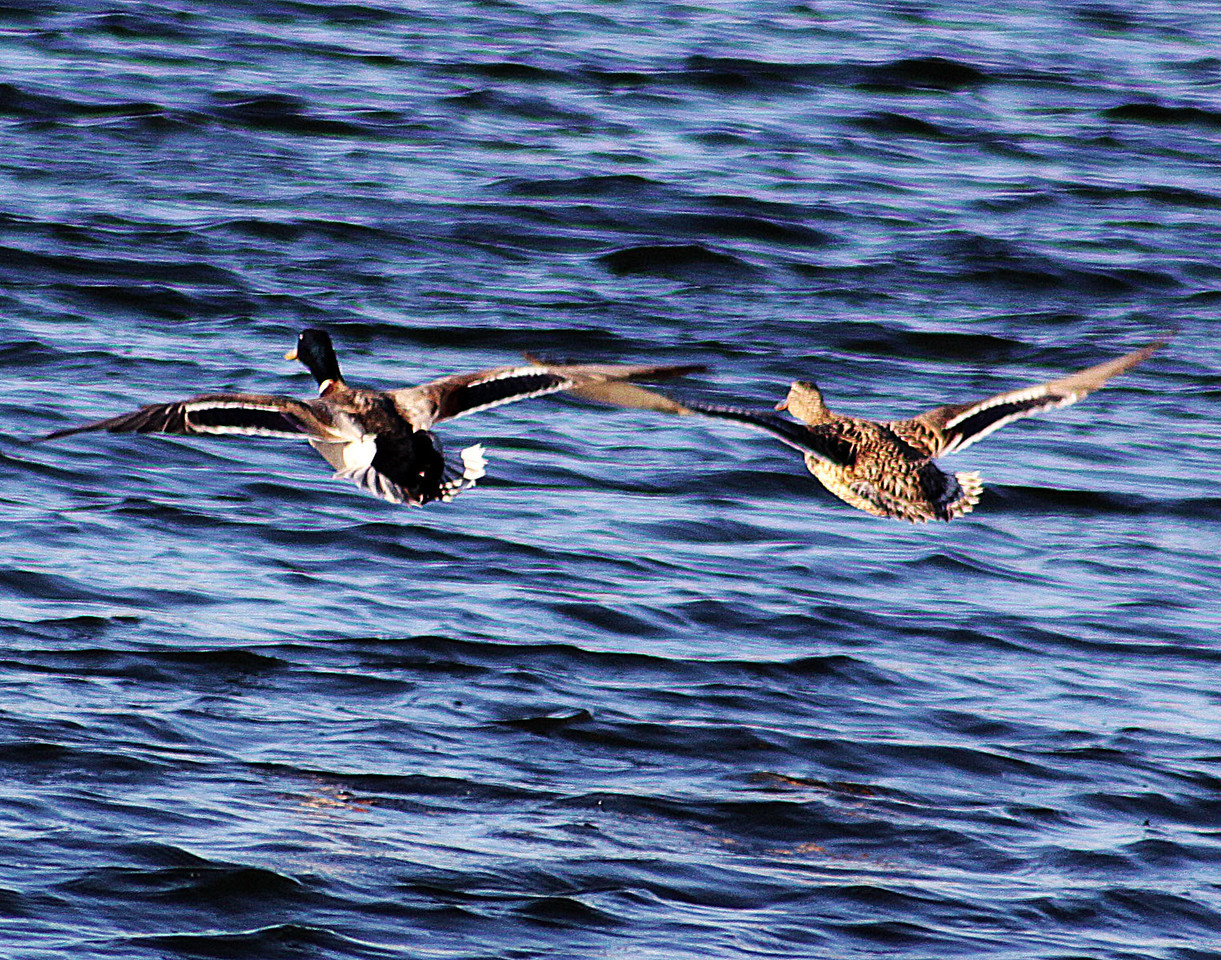 Two Mallard ducks flying low over Carter Lake in Cater Lake, Iowa.